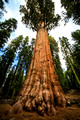 Sequoia Forest, USA-3